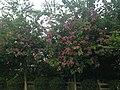 紫荆花 - panoramio.jpg