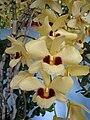 線葉石斛(金草石斛) Dendrobium chryseum -香港青松觀蘭花展 Tuen Mun, Hong Kong- (17856471475).jpg