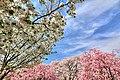 舟川の桜 - panoramio (4).jpg