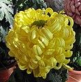 菊花-駿河仙 Chrysanthemum morifolium 'Fairy' -香港圓玄學院 Hong Kong Yuen Yuen Institute- (12115917334).jpg