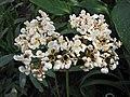 蓮葉秋海棠 Begonia nelumbifolia -波蘭華沙 Powsin PAN Botanical Garden, Warsaw- (35837110623).jpg