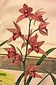蕙蘭 Cymbidium Hsingda Ruby -台南國際蘭展 Taiwan International Orchid Show- (40150278924).jpg