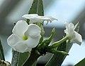 非洲霸王樹 Pachypodium lamerei -新加坡濱海灣花園 Gardens by the Bay, Singapore- (24778447272).jpg