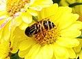 食蚜蠅 Episyrphus baltealus - panoramio.jpg