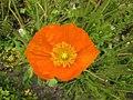 高山罌粟 Papaver alpinum -巴黎植物園 Jardin des Plantes, Paris- (9247116182).jpg