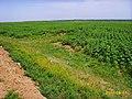 黄河滩的葵花地 - panoramio.jpg