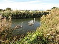 -2018-10-13 Swans, Ebridge Mill, North Walsham and Dilham Canal, Norfolk (7).JPG