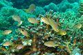 02-EastTimor-Dive Bobs-Rock 36 (Several King Damselfish)-APiazza.JPG