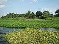 05252jfAngat River Pulilan Aquatic Plants Bulacanfvf 15.JPG