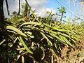 0638jfPaddy fields Pitaya Ilog-Bulo San Miguel Bulacan Farm Market Roadfvf 09.jpg