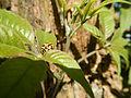 0732jfRoad Olongapo Pampanga Mexico Pampanga Santo Cristo Lagundi Vitex negundofvf 23.JPG