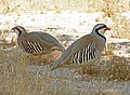 073 - CHUKAR (5-31-09) silver saddle resort, galileo hill, kern co, ca (1) (8721016590).jpg