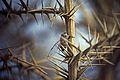 101Zypern Acheleia Zikade (14065834794).jpg
