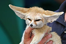 """A light brown fox is held in one hand of a person. It's large ears are sticking out horizontally."""