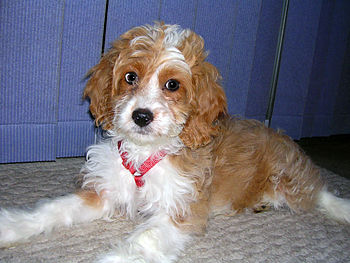 English: Cockapoo at 12 weeks old