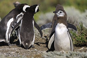 Magellanic penguin - Adults and chicks by their burrow in Cape Virgenes, Patagonia, Argentina