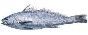 Argyrosomus regius - Image: 142 ombrina