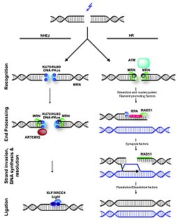 Non-homologous end joining A pathway that repairs double-strand breaks in DNA