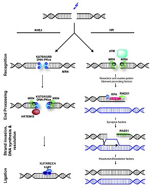 Non-homologous end joining - Non-homologous end joining (NHEJ) and homologous recombination (HR) in mammals during DNA double-strand break