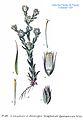 187 Gnaphalium germanicum Willd.jpg