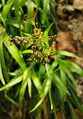 2007-04-01Luzula sylvatica02.jpg