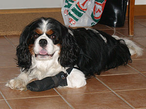 Dog health - Cavalier King Charles Spaniel with bandaged foot.