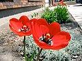 2011 Tulips 1 (5725030093).jpg