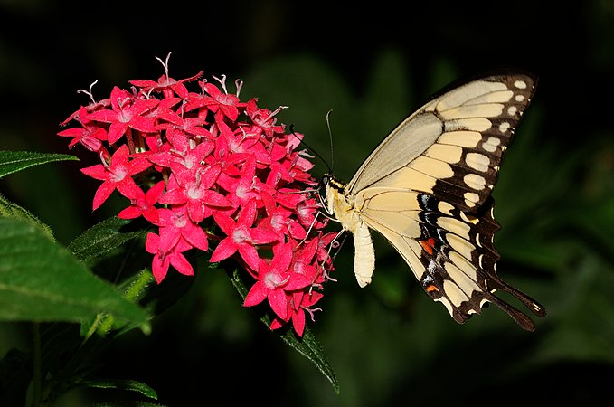 2014-05-01 15-16-53-Papilio-cresphontes-hunawihr.jpg