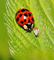 2014-05-28 17-47-53 Coccinellidae.jpg