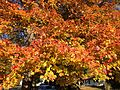 2014-10-30 09 38 28 Red Maple foliage during autumn in Ewing, New Jersey.JPG