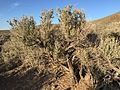 2015-04-15 18 30 16 Sagebrush on the western slopes of Elko Mountain, Nevada.jpg