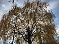 2015-12-08 12 26 48 Weeping Willow with autumn foliage along Woodland Park Road in McNair, Fairfax County, Virginia.jpg