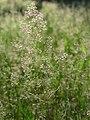 20150630Agrostis capillaris3.jpg
