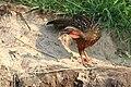 20150910 2948 Pantanal Penelope a ventre roux.jpg