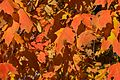 2016-10 Maple leaves autumn Quebec 01.jpg