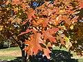 2016-11-15 11 21 01 Red Oak autumn foliage along Franklin Farm Road near Tranquility Lane in the Franklin Farm section of Oak Hill, Fairfax County, Virginia.jpg