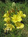 20160706Oenothera biennis1.jpg
