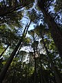 2017-08-19 11 35 46 View up into the canopy of a grove of Eastern Hemlocks along the Bull Run-Occoquan Trail between the Yellow Trail and the Red Trail within Hemlock Overlook Regional Park, in southwestern Fairfax County, Virginia.jpg