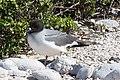 20180807-Swallow-tailed gull-2 at Genovesa (9494).jpg