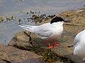 2020-07-18 Sterna dougallii, St Marys Island, Northumberland 09.jpg
