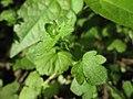 20200422Veronica hederifolia1.jpg