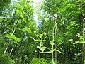 20200508Alliaria petiolata1.jpg