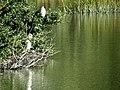 24 Egrets Beaufort SC 6406 (12368018144).jpg