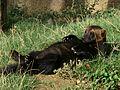 3469-Gulo gulo-Zoo Brno-9.12.JPG