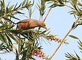 4844 grey-headed-myna Sturnus malabaricus.jpg