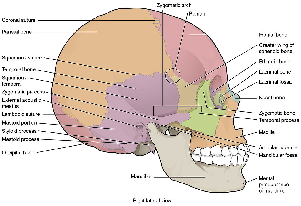 File:705 Lateral View of Skull-01.jpg - Wikimedia Commons