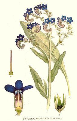 83 Anchusa officinalis