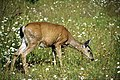 A057, Olympic National Park, Washington, USA, black-tail deer, 2002.jpg