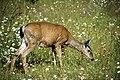 A057, Olympic National Park, Washington, USA, black-tail deer, 2002.jpg