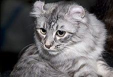 Cat Breed Flexible Hips